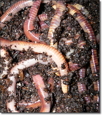 Earthworm mixing the earth