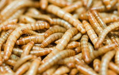 Mealworms Protein Rich Pet Food