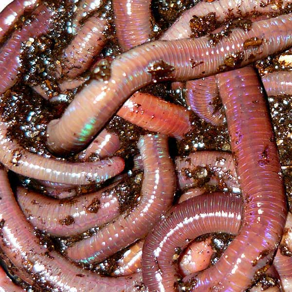 1 lb red wigglers worms4earth worms for sale buy for Fishing worms for sale