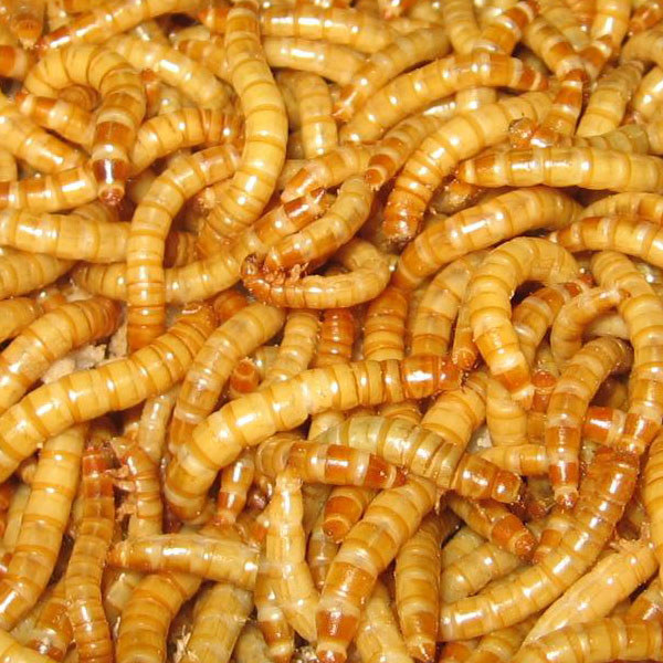 1000 Giant Mealworms