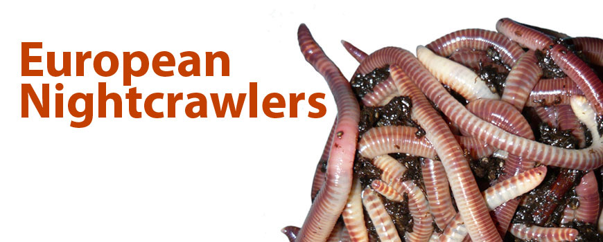 European Nightcrawlers For